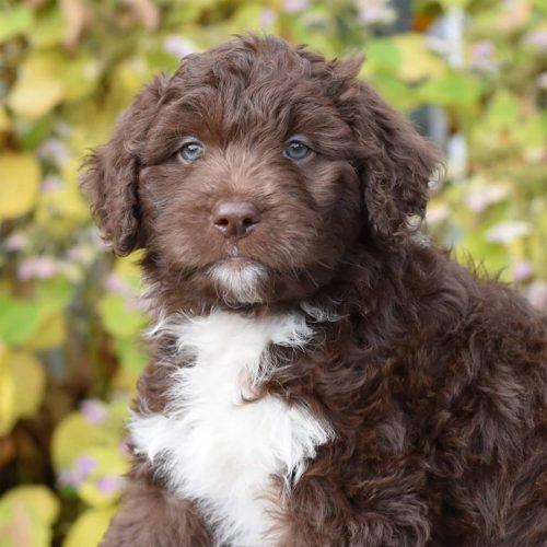 choc-white-pup
