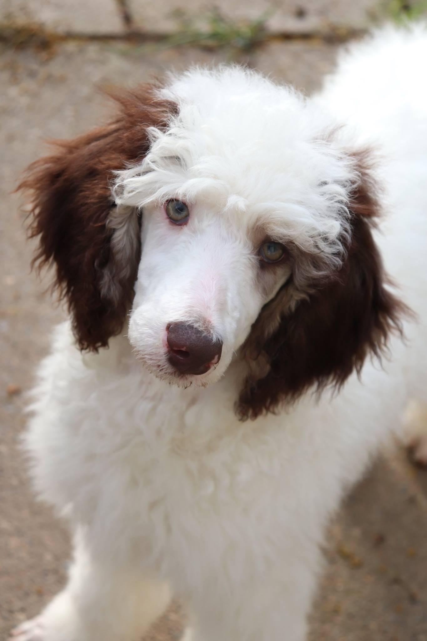AKC Poodle