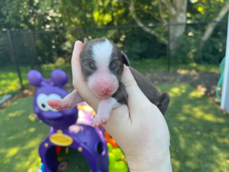Bordoodle Puppy Anenome