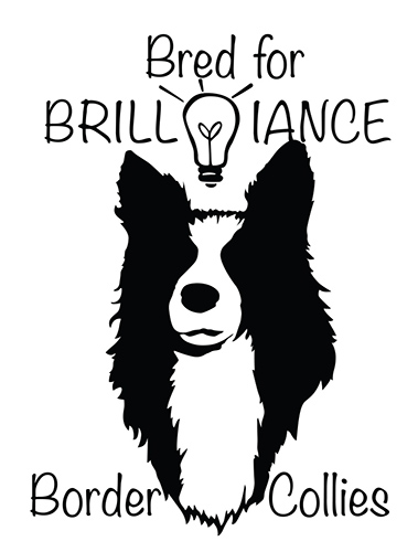 Bred with Brilliance Border Collies