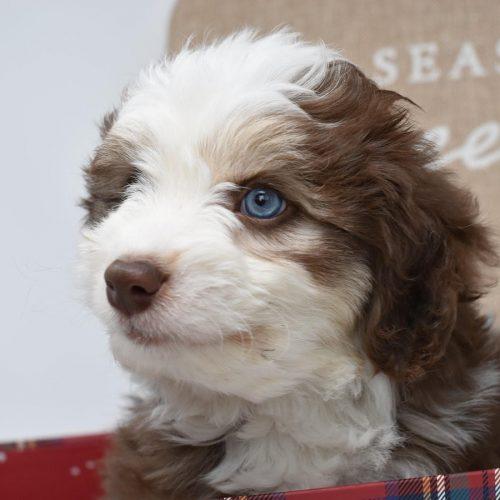 brown-tri-puppy