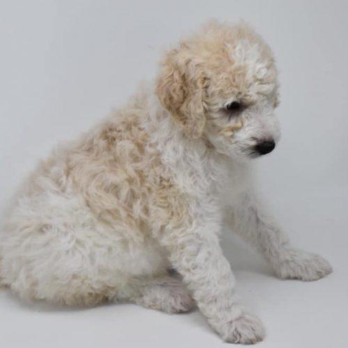 cream-puppy