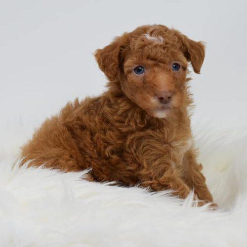 red-puppy